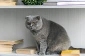 popolare dello scottish adorabile gatto seduto sullo scaffale per libri