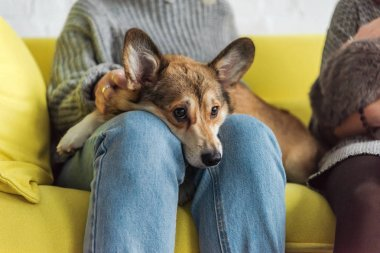 cropped shot of woman sitting on couch and carrying adorable corgi dog