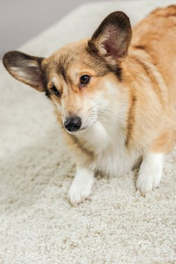 close-up shot of adorable corgi dog lying on carpet and looking away