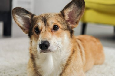 close-up shot of cute corgi dog lying on carpet and looking away