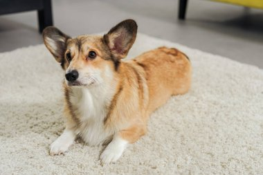 cute corgi dog lying on carpet and looking away