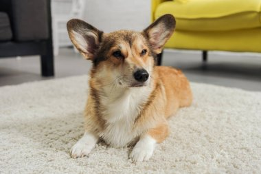 adorable corgi dog lying on carpet and looking away