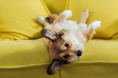 adorable corgi dog lying on back on yellow sofa and looking at camera