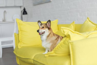 cute corgi dog sitting on yellow couch at home and looking away