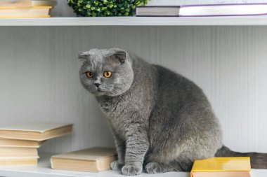 adorable scottish fold cat sitting on bookshelf