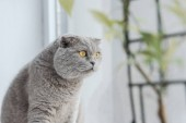 excited scottish fold cat sitting on windowsill at home