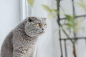 scottish Fold Katze sitzt auf der Fensterbank zu Hause begeistert