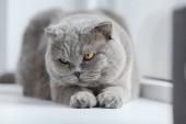 Fotografie close-up shot of scottish fold cat lying on windowsill at home