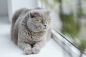 scottish fold cat relaxing on windowsill at home and looking through window