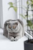 roztomilý skotské klapouché kočky odpočinku na parapetu doma a koukal