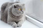 Detailní záběr roztomilé skotského fold kočka relaxační na okenní parapet
