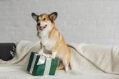 imádnivaló corgi kutya ajándék doboz állt a kanapén