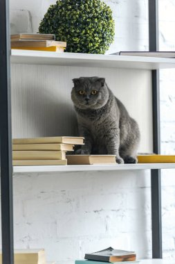 adorable scottish fold cat sitting on bookshelf and looking at camera