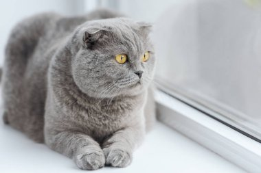Close-up shot of cute scottish fold cat relaxing on windowsill stock vector