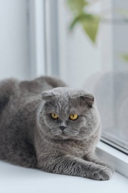 Close-up shot of unhappy scottish fold cat relaxing on windowsill and looking away stock vector