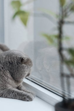 close-up shot of scottish fold cat lying on windowsill at home and looking through window