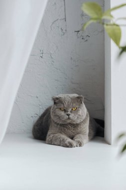 unhappy scottish fold cat lying on windowsill at home and looking at camera
