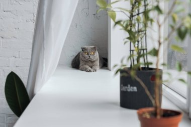 adorable scottish fold cat lying on windowsill at home and looking at camera