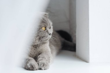 Close-up shot of adorable scottish fold cat lying on windowsill behind curtain and looking through window stock vector
