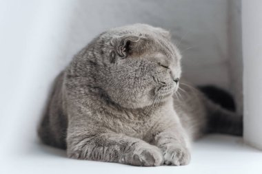 Close-up shot of adorable scottish fold cat sleeping on windowsill stock vector