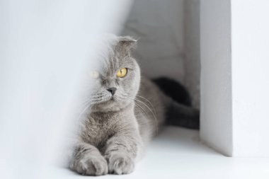 close-up shot of scottish fold cat lying on windowsill behind curtain