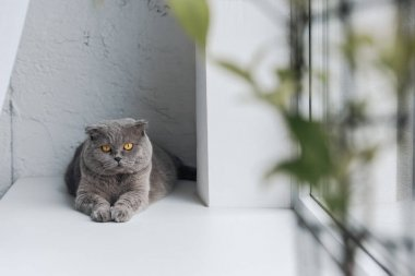 cute grey cat lying on windowsill and looking at camera