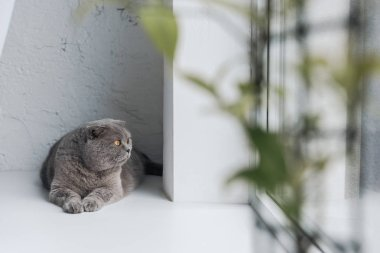 cute grey cat lying on windowsill and looking through window