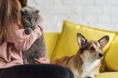 oříznuté záběr ženy sedí na gauči s corgi pes a skotské klapouché kočky a při pohledu na fotoaparát