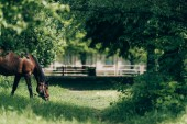 selective focus of domestic horse eating grass at countryside