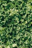 Fotografie full-Frame-grüne Gras und Klee verlässt Hintergrund