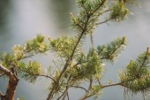 selective focus of pine branches on blurred background