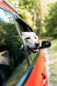 Fotografie niedliche Labrador Hund mit Blick vom Fenster in roten Auto im Wald