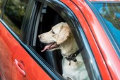 side view of cute labrador dog looking out from window in red car
