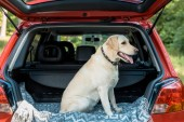 cute labrador dog sitting in trunk in red car