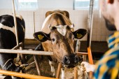 oříznutý obraz farmář krmí krávy s sena ve stáji