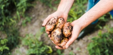 cropped image of farmer holding ripe potatoes in hands in field