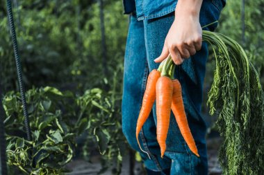 cropped image of farmer holding organic carrots in field at farm