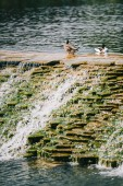 two beautiful ducks sitting on dam in river at park