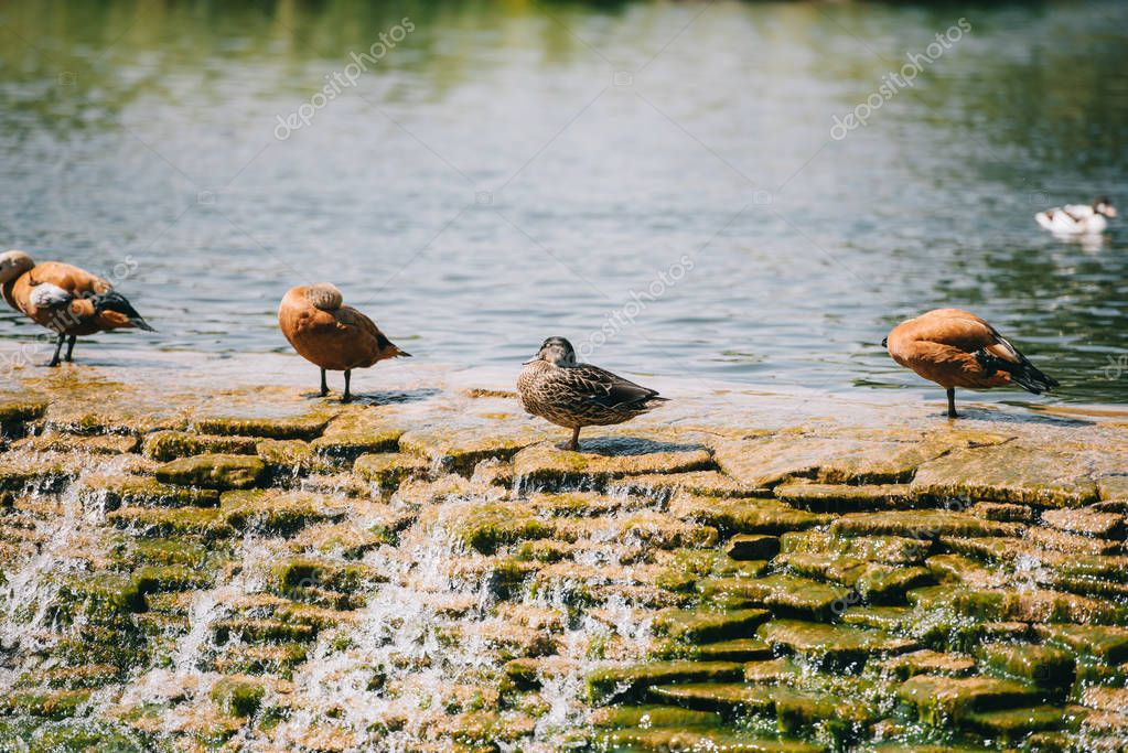 beautiful brown ducks standing on dam in river at park