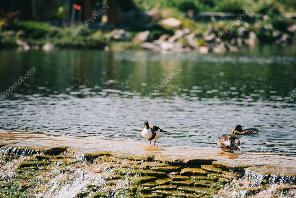 three ducks sitting on dam in river at park