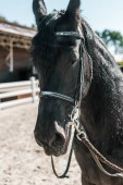 one beautiful black horse with horse halter standing at ranch