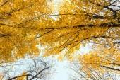 a gyönyörű őszi erdőben a sárga fák Alulnézet