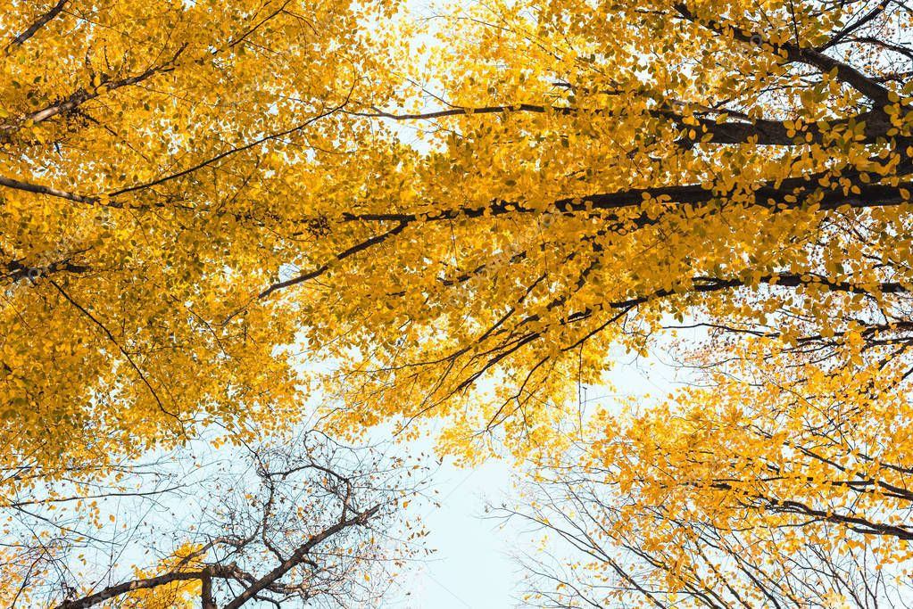 bottom view of beautiful autumnal forest with yellow trees