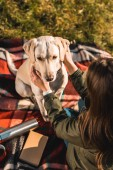Fotografie high angle view of woman sitting on blanket and adjusting dog collar on golden retriever in park