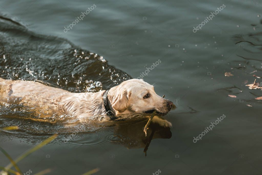 high angle view of golden retriever swimming in pond outdoors