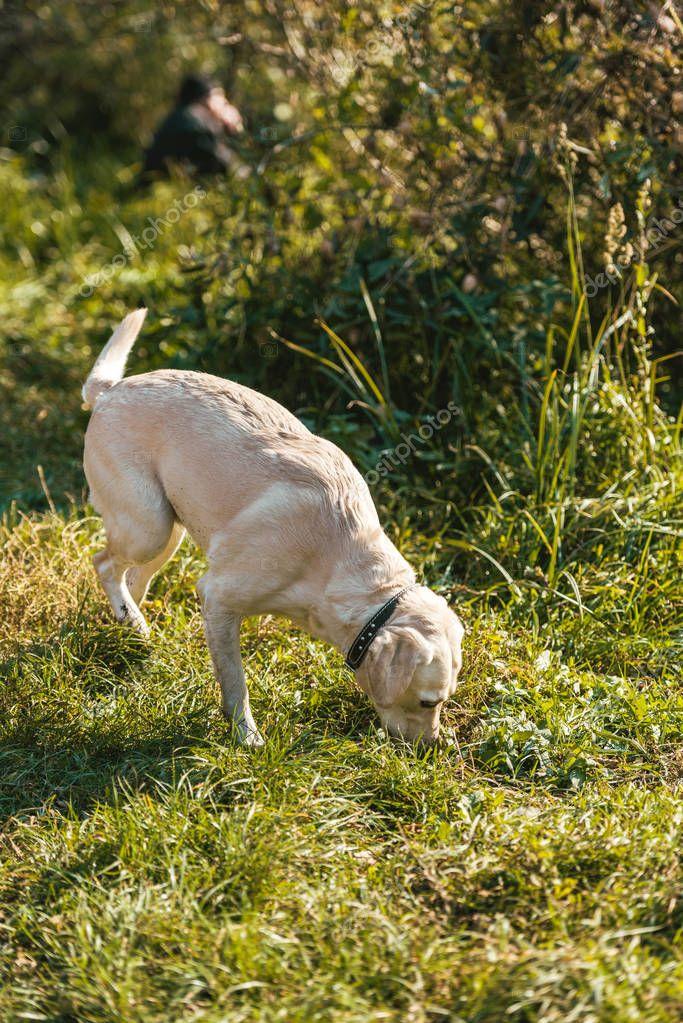 cute golden retriever smelling grass outdoors