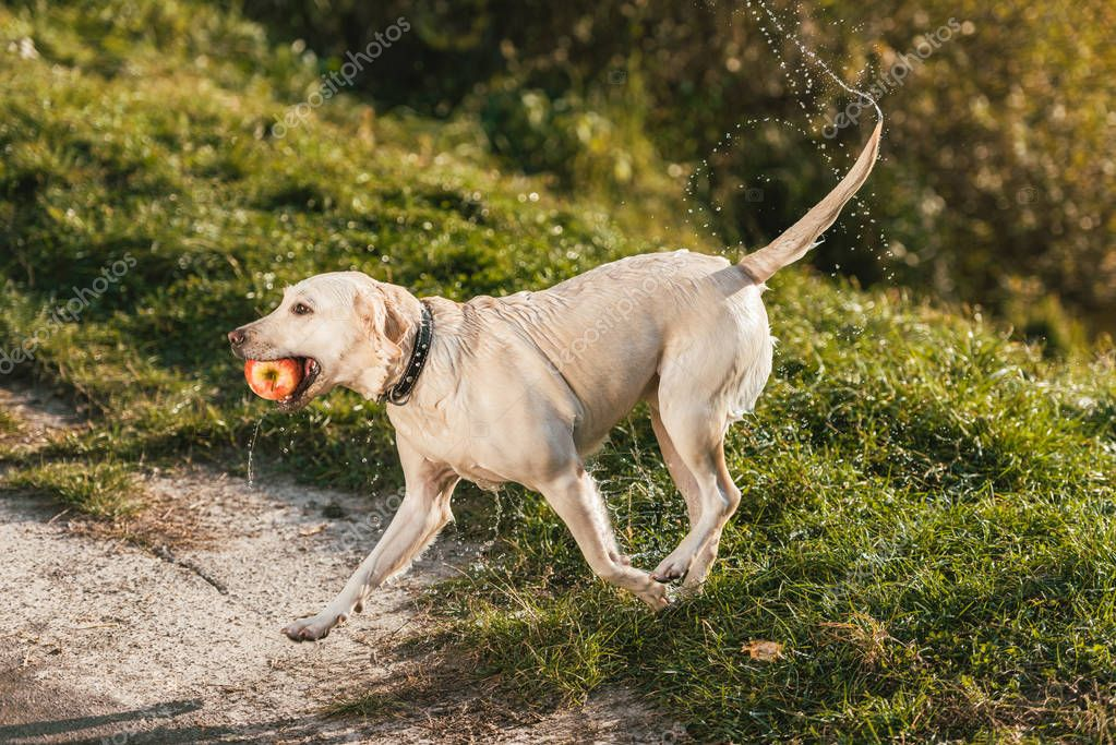 wet adorable golden retriever running with apple in mouth outdoors