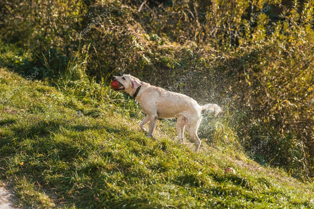 selective focus of golden retriever with apple in mouth shaking itself dry on grass in park