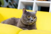 grey british shorthair cat lying on yellow couch