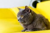 graue britische Kurzhaarkatze liegt auf gelbem Sofa